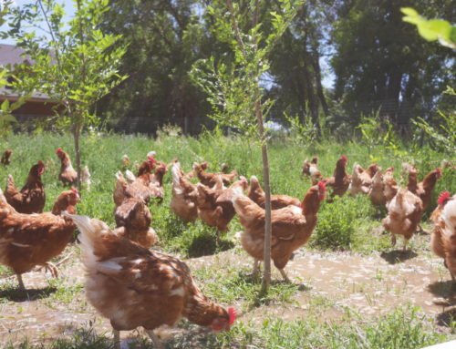 Farmers in Focus: Dayspring Eggs